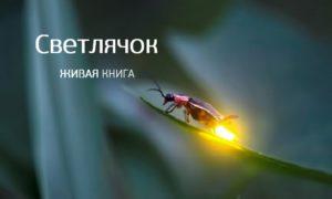 Светлячок, Татьяна Симонова